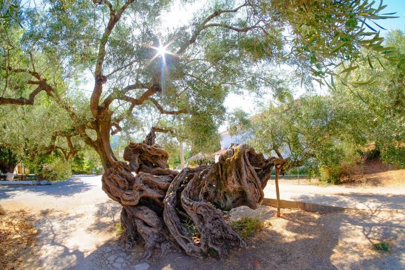 Oudste Olijfboom in Zakynthos 2000 éénjarigenolijfboom in Exo royalty-vrije stock afbeelding