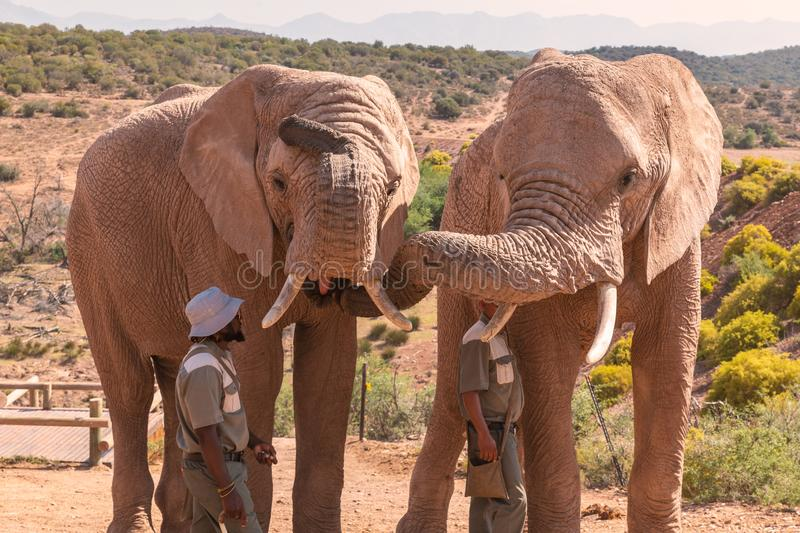 Rangers feeding african elephants in game reserve stock images