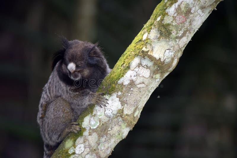 ouistiti Noir-tufté, primat endémique du Brésil image stock