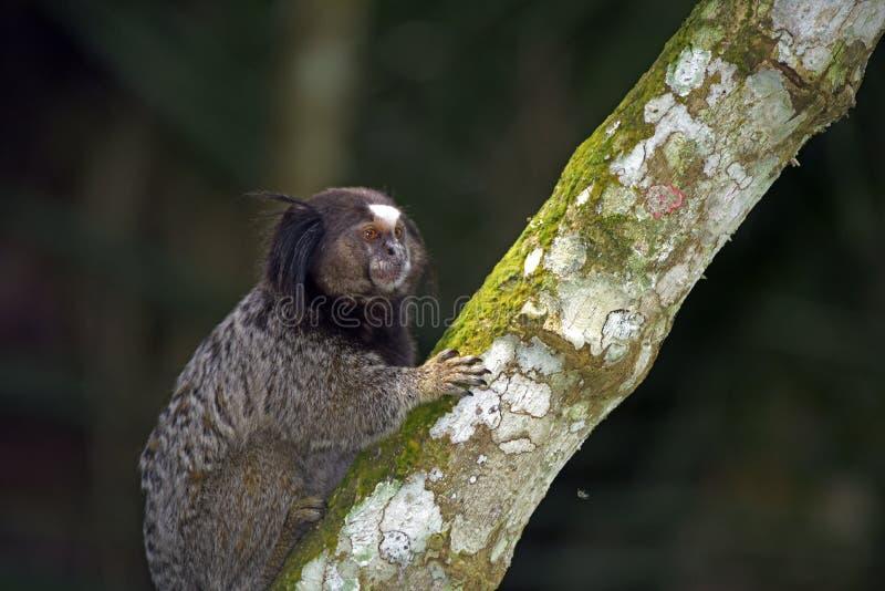 ouistiti Noir-tufté, primat endémique du Brésil photo stock