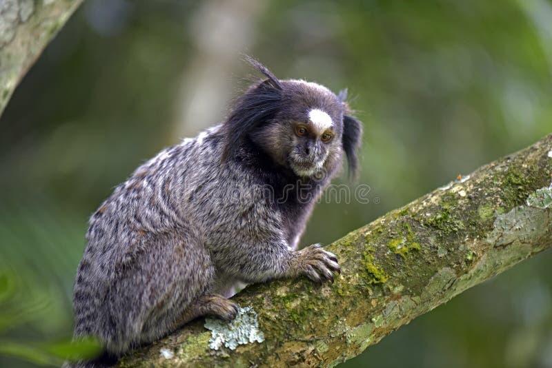 ouistiti Noir-tufté, primat endémique du Brésil photographie stock libre de droits