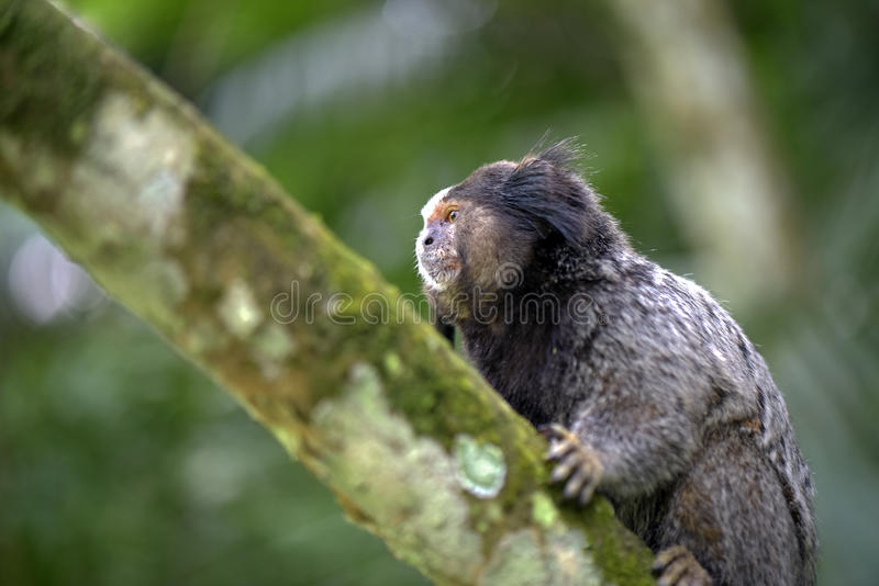 ouistiti Noir-tufté, primat endémique du Brésil photos libres de droits