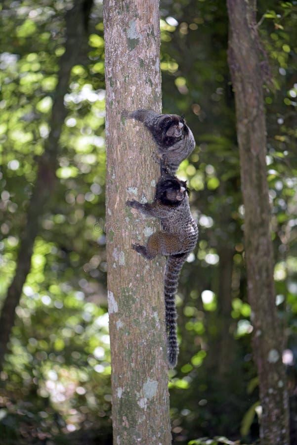 ouistiti Noir-tufté, primat endémique du Brésil photographie stock