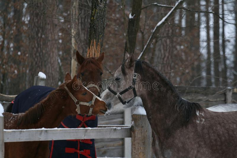 Oung Arabian colt ran to get acquainted with the mare and foal royalty free stock image