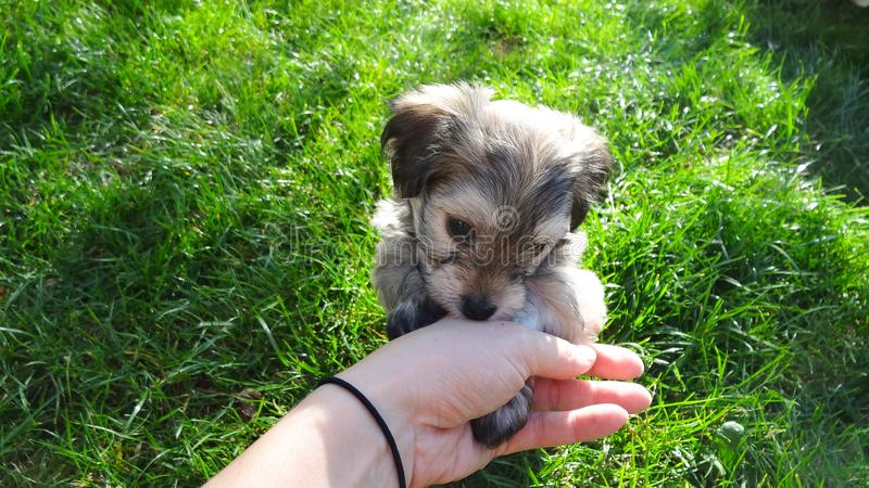 Petting cute puppy of Havanese dog in the garden royalty free stock image