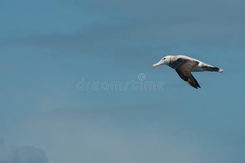 Black-Browed Albatross in Flight stock photos