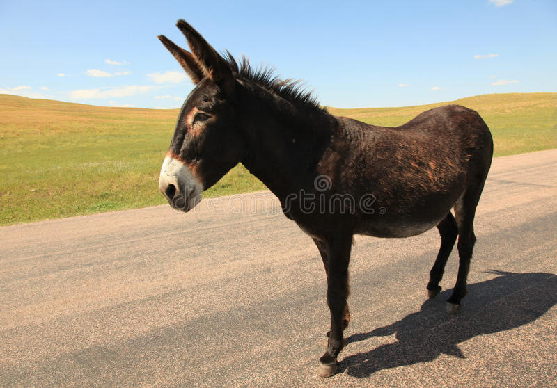 Our wild donkey friend in the Black Hills royalty free stock photography