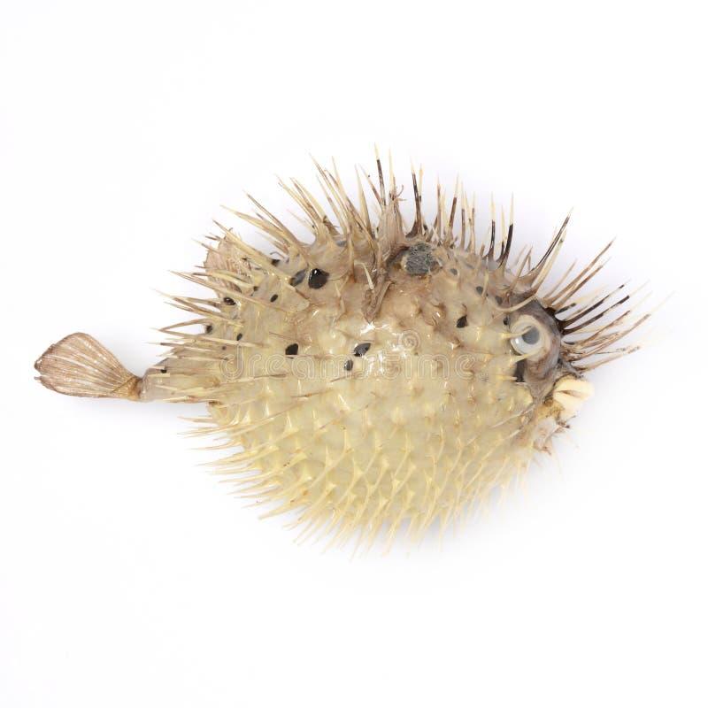 Ouriço Bloated dos peixes no fundo branco isolado imagem de stock