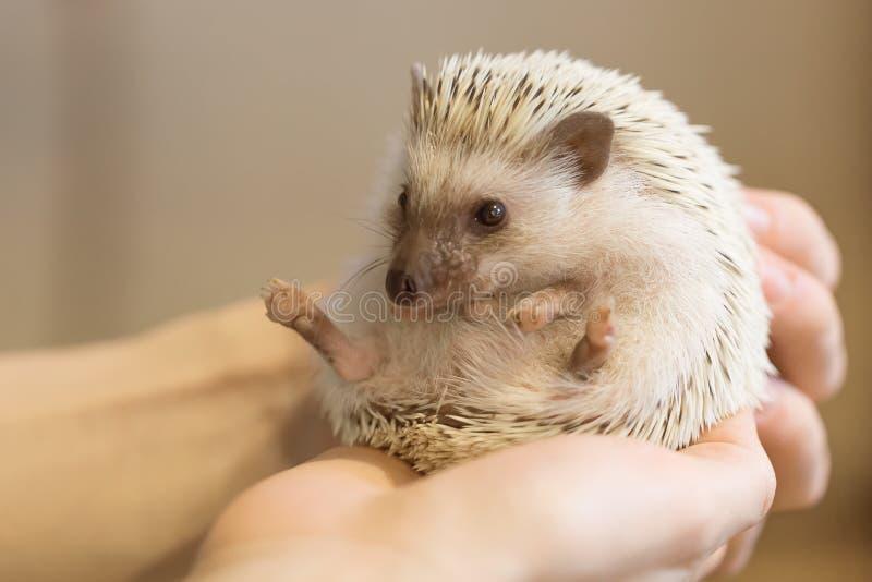 Ouriço bonito pequeno nas mãos fêmeas Albiventris de Atelerix fotografia de stock royalty free