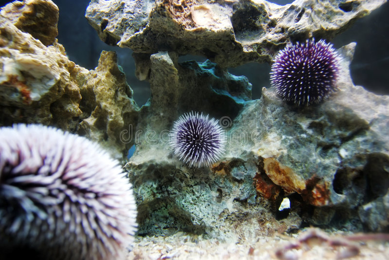 Ouriço-do-mar imagens de stock