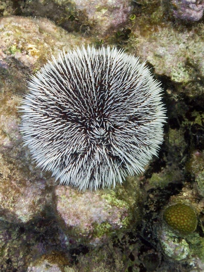 Ouriço-do-mar branco em Cuba imagens de stock royalty free
