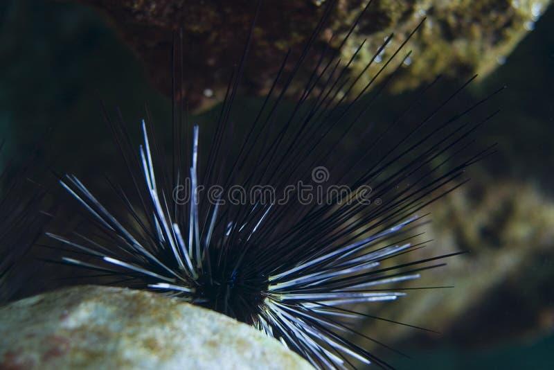 Ouriço-do-mar de mar fotografia de stock