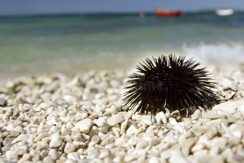 Ouriço-do-mar de mar. foto de stock