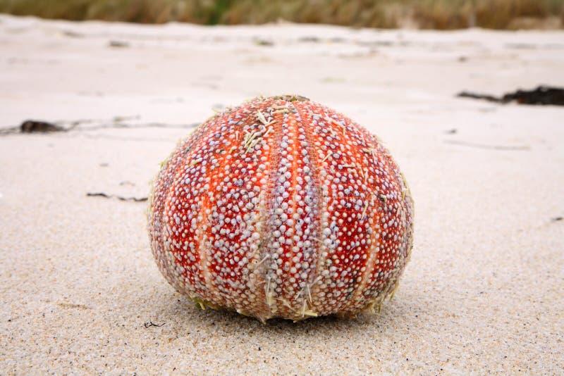 Ouriço-do-mar de mar colorido. foto de stock