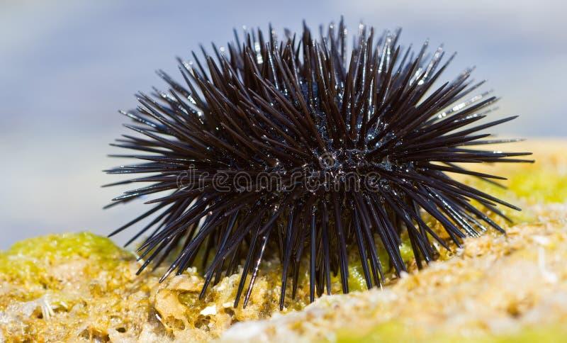 Ouriço-do-mar de mar em uma rocha pelo mar imagens de stock