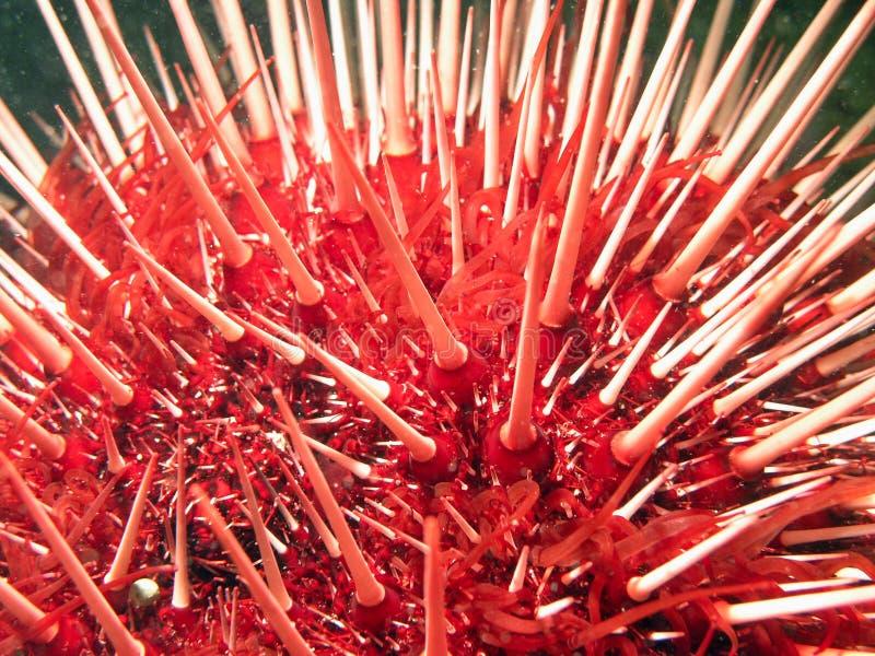 Ouriço-do-mar gigante do Mar Vermelho imagem de stock royalty free