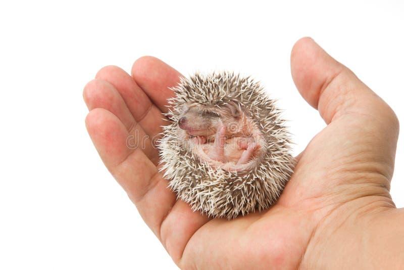 Ouriço do pigmeu do bebê imagem de stock royalty free