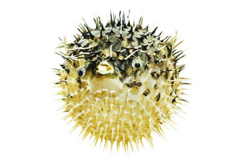 Ouriço dos peixes imagem de stock