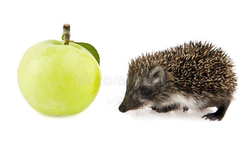 Ouriço e maçã pequenos imagens de stock royalty free