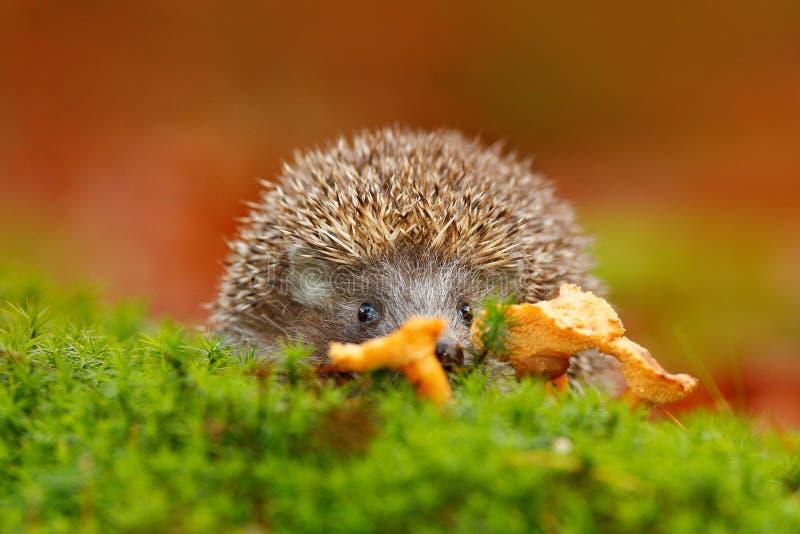 Ouriço europeu bonito, europaeus do Erinaceus, comendo o cogumelo alaranjado no musgo verde Imagem engraçada da natureza Wi da fl fotos de stock royalty free