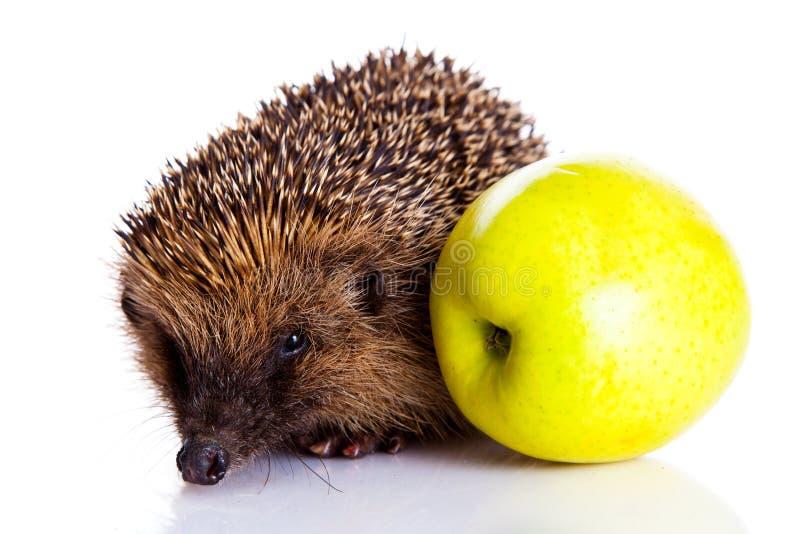 Ouriço isolado no animal e na maçã brancos do fundo fotografia de stock
