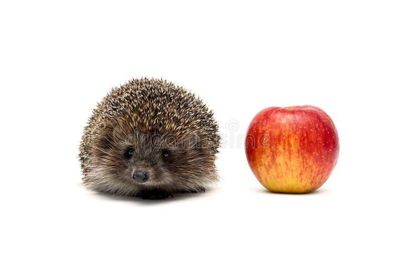 Ouriço pequeno e maçã vermelha isolados no fundo branco fotos de stock royalty free