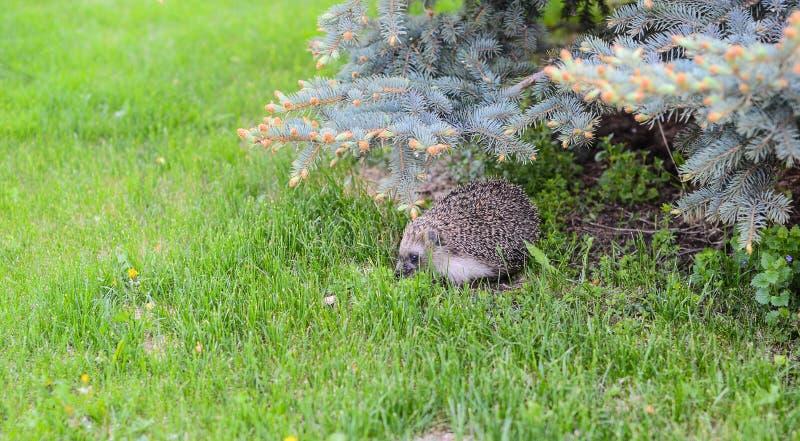 Ouriço pequeno no gramado foto de stock