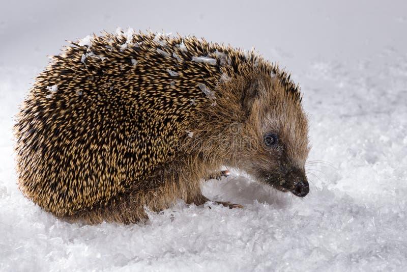 Ouriço pequeno que procura pela forragem na neve fotos de stock royalty free