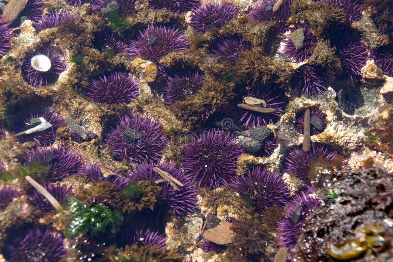 Ouriços-do-mar roxos fotografia de stock