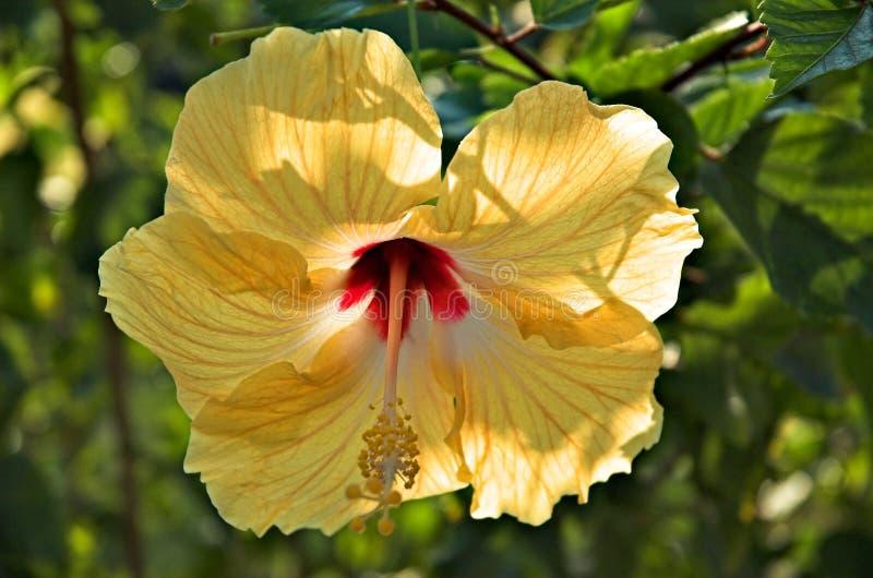 Download Ouro da selva foto de stock. Imagem de hibiscus, caribbean - 531726