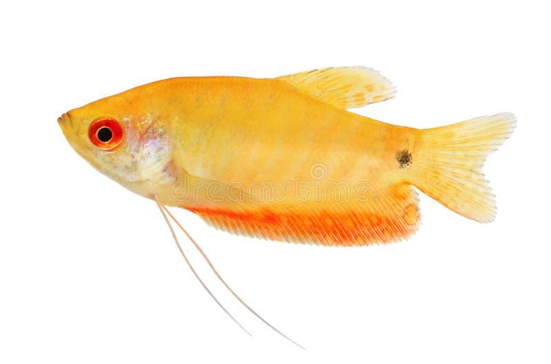 Ouro dourado do trichopterus de Trichogaster do gurami dos peixes do aquário foto de stock