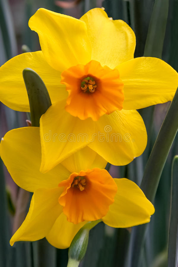 Ouro e Daffodils alaranjados imagem de stock