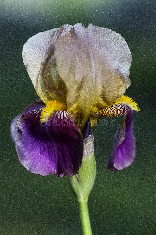 Ouro roxo e Iris Blossom farpada alta bronzeado clara fotos de stock royalty free