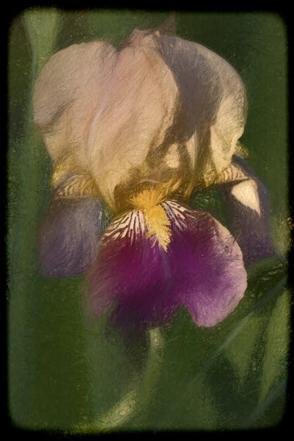 Ouro roxo e Iris Blossom farpada alta bronzeado clara imagens de stock