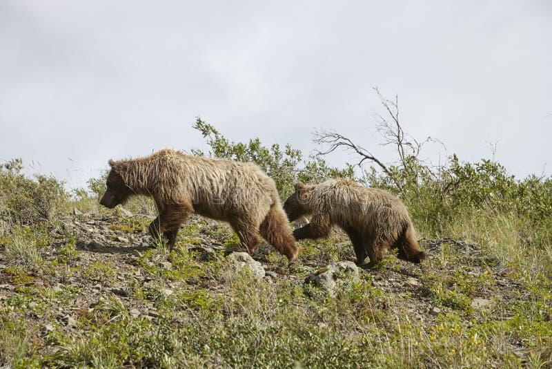 Ours avec CUB sur Hillside en Alaska photos stock