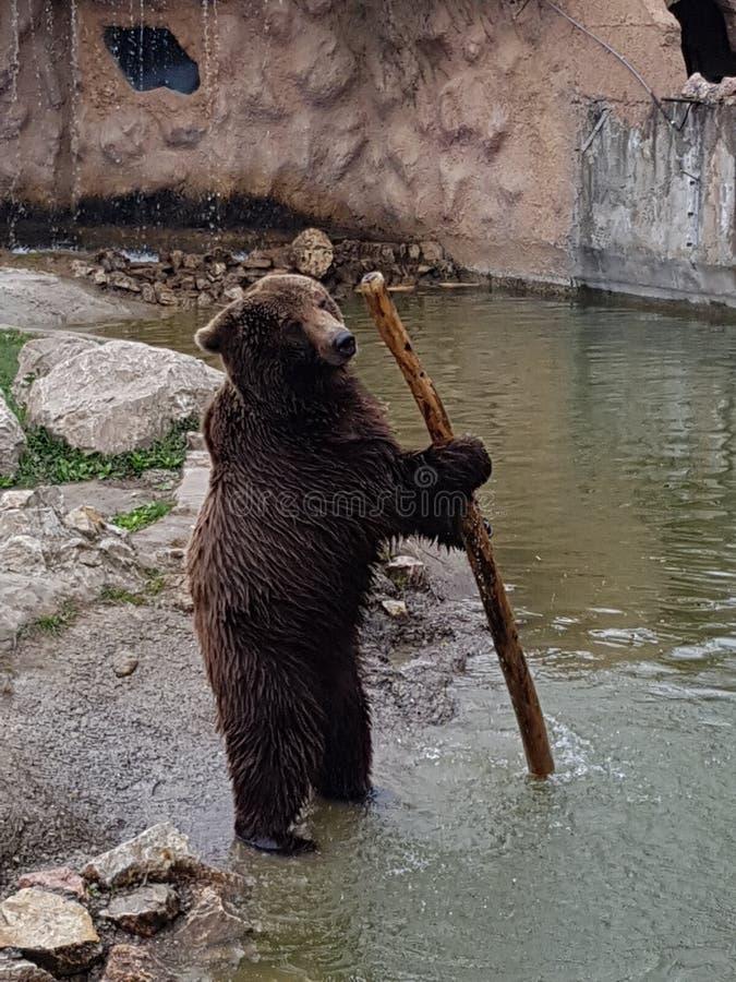 Ours avec le bâton photo libre de droits
