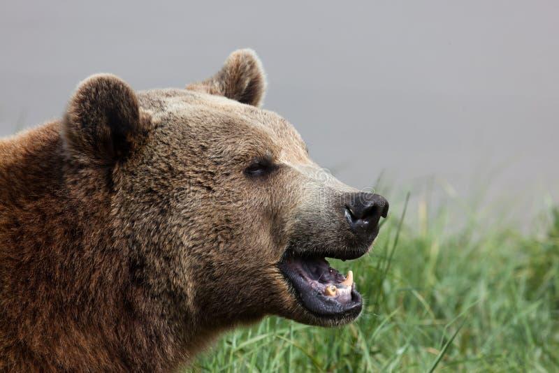 Ours avec un remplissage photographie stock libre de droits