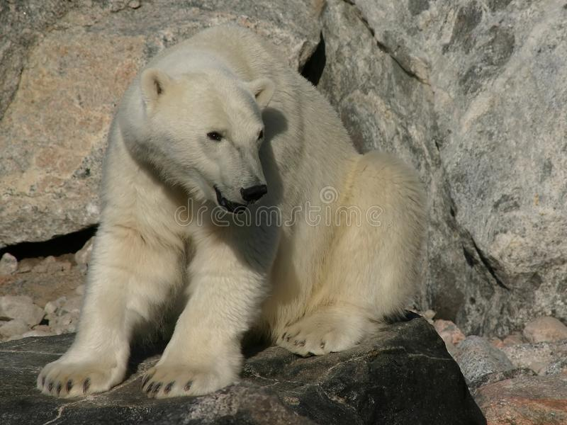 Ours Blanc Images Stock