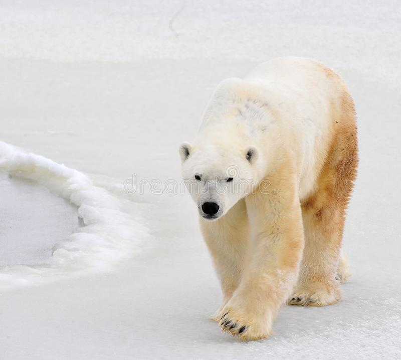 Ours blanc. image stock