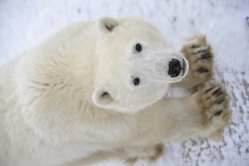 Ours blanc. photographie stock libre de droits
