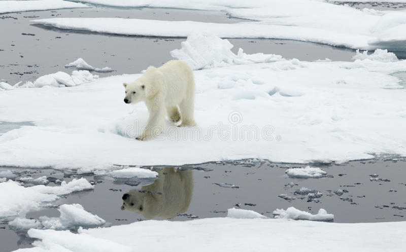Ours blanc photo stock