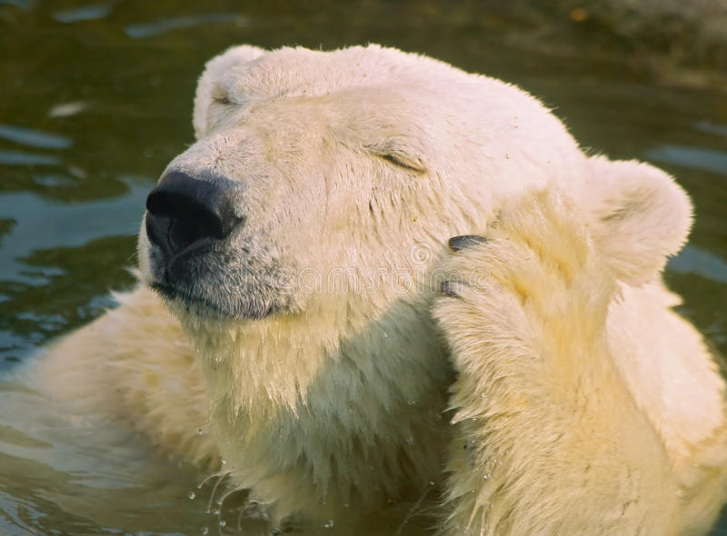 Download Ours blanc photo stock. Image du arctique, froid, carnivore - 56488936