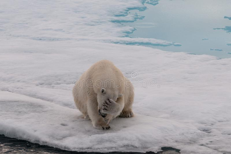 Ours blanc adulte couvrant son visage, le Svalbard photo stock