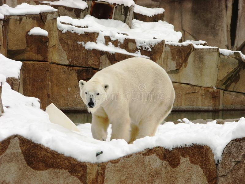 Ours blanc apr?s l'automne de chute de neige importante au zoo de Milwaukee images libres de droits