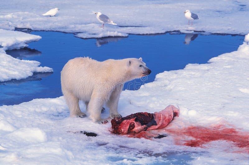 Ours Blanc Au-dessus D Une Mise à Mort De Sceau Photos libres de droits