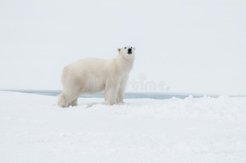 Ours blanc au nord du Spitzberg (le Svalbard) près du Pôle Nord Norvège photos libres de droits