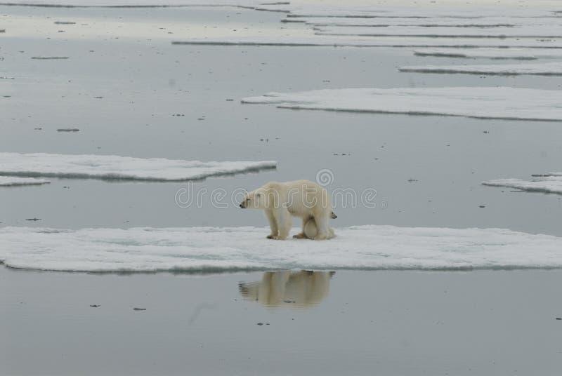 Ours blanc avec l'animal photographie stock libre de droits