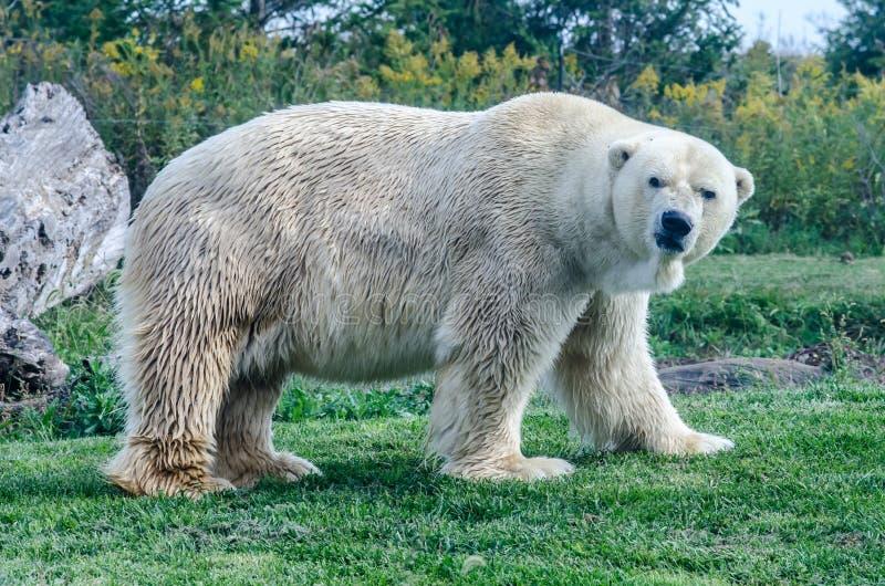 Ours blanc avec le visage grincheux photo stock