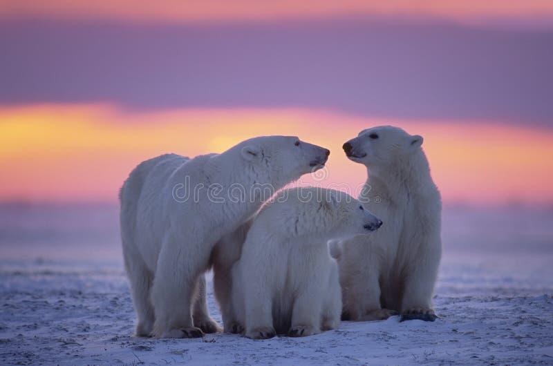 Ours blanc avec les animaux d'un an photographie stock