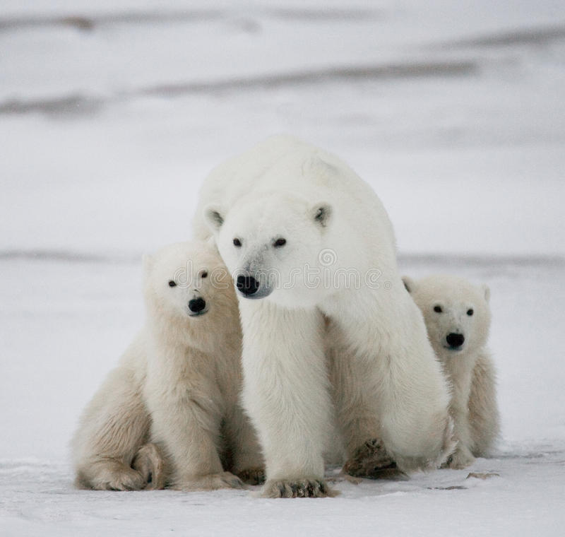 Ours blanc avec petits animaux dans la toundra canada photo libre de droits